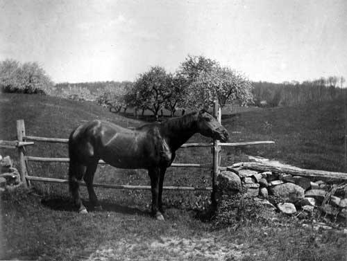 A horse owned by Maria Appleby with apple orchards in the background, circa 1910.  This view is looking towards Capron Road. Today Rt. 295 runs where the apple orchards were.